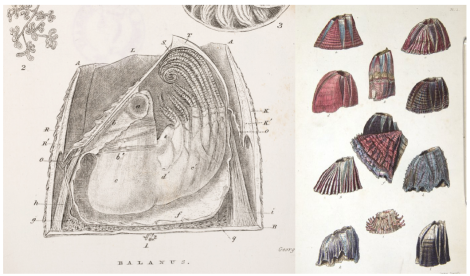 Charles Darwin's sketches of barnacles